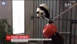 Панда-акробат: как ежегодное Медведица пытается научиться ходить по канату (видео)